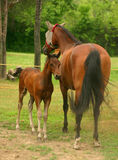 Mare and Colt stock photography