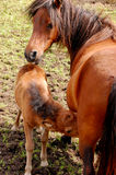Mare and colt Stock Images