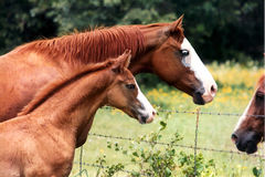 Mare and Colt. Quarter horse mare and colt at barbwire fence visiting with neighbor horse royalty free stock photo