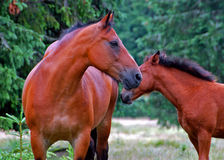 Mare and colt. In the meadow Royalty Free Stock Image