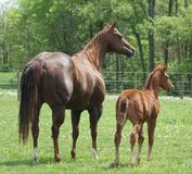 Mare and colt. Standing together Stock Image