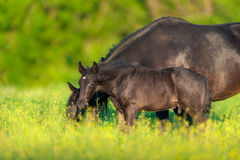 Mare and colt. Mare with foal on spring pasture grazing Royalty Free Stock Images