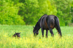 Mare and colt Royalty Free Stock Photography