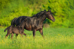 Mare and colt. Mare with foal on spring pasture run royalty free stock image