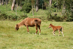 Mare and Colt Grazing. A brown mare and her young colt grazing in a farmers field in Cotacachi, Ecuador royalty free stock photo