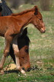 Mare and colt, horses. Horses, mare and colt close-up head details royalty free stock photos