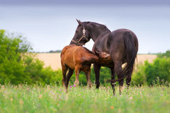 Mare with colt Royalty Free Stock Photos