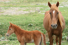 Mare and Colt in a Meadow Royalty Free Stock Photo