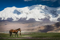 Mare and colt on a meadow. In front of a snowcapped mountains in Karakorum, China Stock Photo
