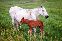 Mare and colt Stock Photo
