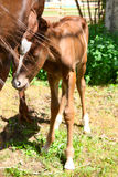 Mare and Colt. Mare and one day old colt standing together royalty free stock photography