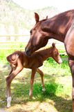 Mare and Colt. Mare and one day old colt standing together Stock Images