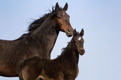 Mare with colt portrait Royalty Free Stock Images