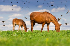 Mare with colt. Red mare and cute colt grazing green grass on pasture against flock of birds stock photos