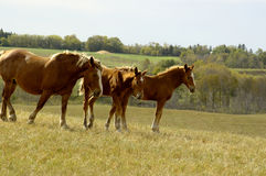 Mare and Colts. Horses on a ridge overlooking the farm Stock Photo