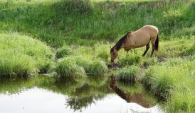 Mare By Creek. Dun quarter horse mare drinking from stream royalty free stock photos
