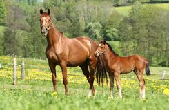 Mare and cub Royalty Free Stock Image