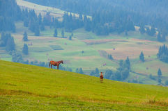 Mare and cute foal grazing on the hillside in mountains. Mare and foal grazin in early morning on field amongst Carpathians Royalty Free Stock Images