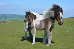 Mare and cute foal on Whitchurch Common, roaming free royalty free stock photos