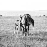 Mare with cute little foal on the pasture. Black and white image royalty free stock images