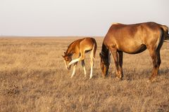 Mare with cute little foal on the pasture. Rural landscape stock image