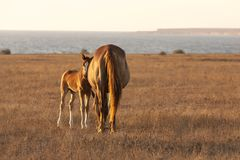 Mare with cute little foal on the pasture stock photos
