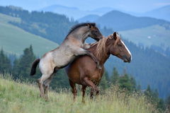 mare and cute playful foal on mountain pasture Stock Images