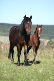 Mare of czech sport pony with its foal Royalty Free Stock Photo