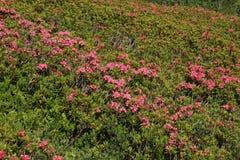 Mare dei fiori, Alpenrosen Fotografie Stock