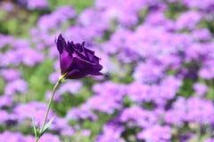 Mare dei fiori porpora Immagine Stock