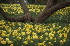 Mare dei narcisi gialli sotto un albero Fotografia Stock