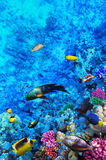 Mare dei pesci e del corallo in rosso. L'Egitto, Africa. Immagine Stock Libera da Diritti