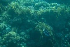 Mare dei pesci e delle barriere coralline in rosso Fotografia Stock Libera da Diritti