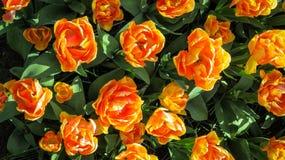 Mare dei tulipani arancioni Fotografia Stock
