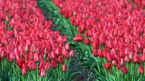 Mare dei tulipani rossi Fotografie Stock
