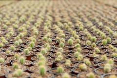 Mare del cactus. Fotografia Stock