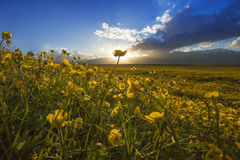 Mare del fiore Immagini Stock