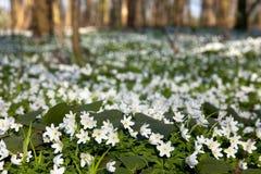 Mare del fiore del Anemone fotografia stock
