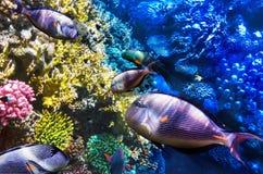 Mare del Pesce-chirurgo e del corallo in rosso. L'Egitto, Africa. Immagini Stock Libere da Diritti