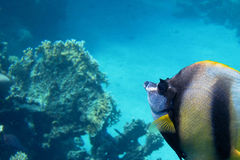 Mare del pesce dello stendardo del Mar Rosso in rosso grande Fotografia Stock