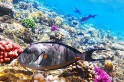 Mare del pesce e del corallo in rosso. Fotografia Stock