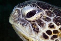 Mare del ritratto della tartaruga verde in rosso. Immagini Stock Libere da Diritti
