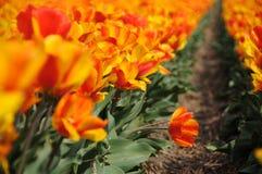 Mare del tulipano Fotografia Stock