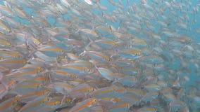 Mare della scuola della sardina in rosso video d archivio