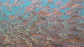 Mare della scuola della sardina in rosso stock footage