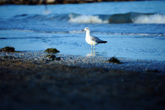 Mare della spiaggia del gabbiano Fotografie Stock Libere da Diritti