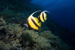 Mare di bannerfish dello stendardo in rosso Fotografie Stock Libere da Diritti