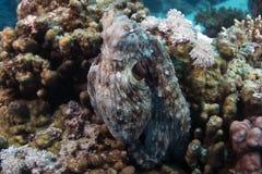 Mare di cyanea del polipo (polipo della scogliera) in rosso Fotografia Stock Libera da Diritti
