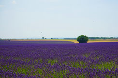 Mare di lavanda in Francia del sud Fotografie Stock