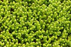Mare di verde Fotografia Stock Libera da Diritti
